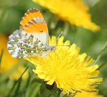 Orange tip butterfly by Pauline-W