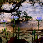 Water Lilies - Emu Park by Kate Trenerry