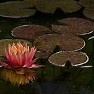 Water lily lights up dark pond by Celeste Mookherjee
