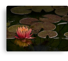 Water lily lights up dark pond Canvas Print