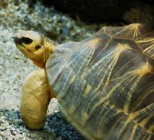 Horned Tortoise by MythicFX