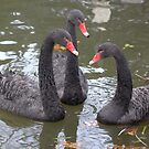 Three Black Swans by BiggerPicture