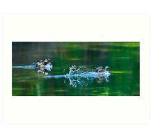 Colourful Wood Ducks Splashing Art Print