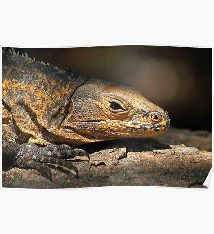 Iguana reptile Poster