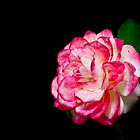Rose On Black by BoB Davis