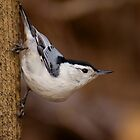 White-breasted Nuthatch by Jeff Weymier