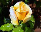 Rosebud after Rain by Julie Sleeman