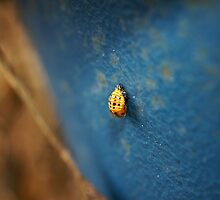 Possibly Harmonia Axyridis - (but hopefully not) by Henry Inglis