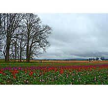 Wooden Shoe Tulip Farm Landscape Photographic Print