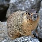 Yellow bellied marmot by Kate Farkas