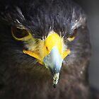 Harris Hawk by Alyce Taylor