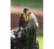 Juvenile Bald Eagle Photographic Print