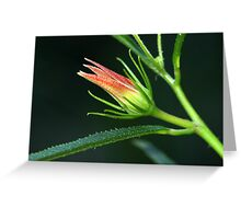 Hibiscus divaricatus Greeting Card
