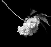 Japanese Cherry Tree Blooms by Laurie Minor