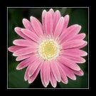 Pink Flower by FlashGordon666