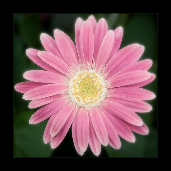 Pink Flower by FlashGordon666