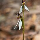 Parson's Bands (Eriochilus cucullatus) by Barb Leopold
