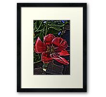 tulip in hdr Framed Print