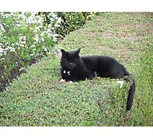 Our Cat on top of a hedge Photographic Print
