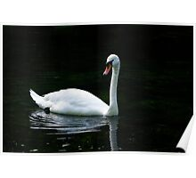 Majestic Swan on The Grand Western Canal,Tiverton,UK Poster