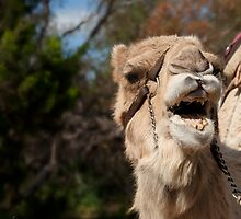 Camel Calling, Camel Farm, Outback NSW by clearviewstock