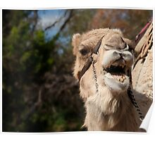 Camel Calling, Camel Farm, Outback NSW Poster