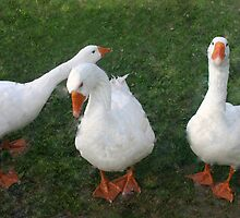 Three Ducks by Susan  Morry