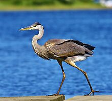 Great Blue Heron by Julie Bishop
