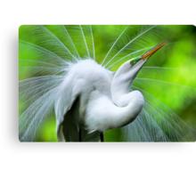 Breeding Egret Eye to the Sky Canvas Print