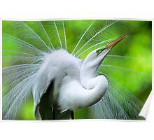 Breeding Egret Eye to the Sky Poster