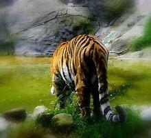 The Amur Tiger.. Taken at Dublin Zoo, Ireland.. by eithnemythen