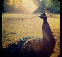 Peacock Under The Sun by silviareitsma
