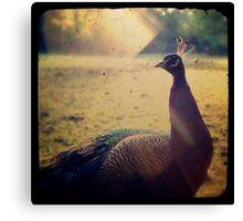 Peacock Under The Sun Canvas Print