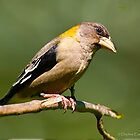 Evening Grosbeak by Daphne Eze