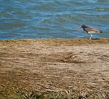 American Oystercatcher by Scott Evers