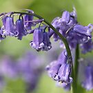 Bluebell Star by Samantha Higgs