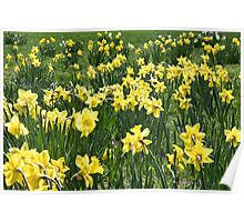 A Field Of Daffodils Poster