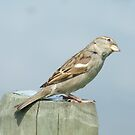 Common sparrow by lutontown