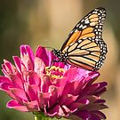 Monarch On Zinnia 8-2015 by Thomas Young