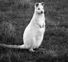 Albino Wallaby by TazzieTan