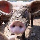 Curious Pig by KansasA