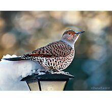 Red-Shafted Northern Flicker Photographic Print
