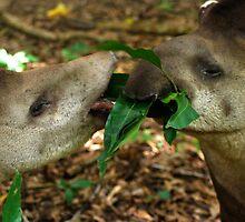 Lowland Tapirs (Tapirus terrestris) - Bolivia  by Jason Weigner