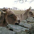 Donkeys by Dalmatinka