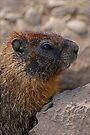 Marmot #306 by Rodney55