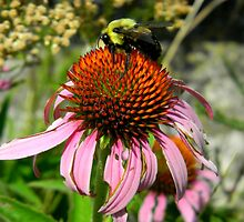 Big Bee On a Coneflower by CrystalFanning