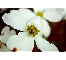 Dogwood Bloom  Photographic Print