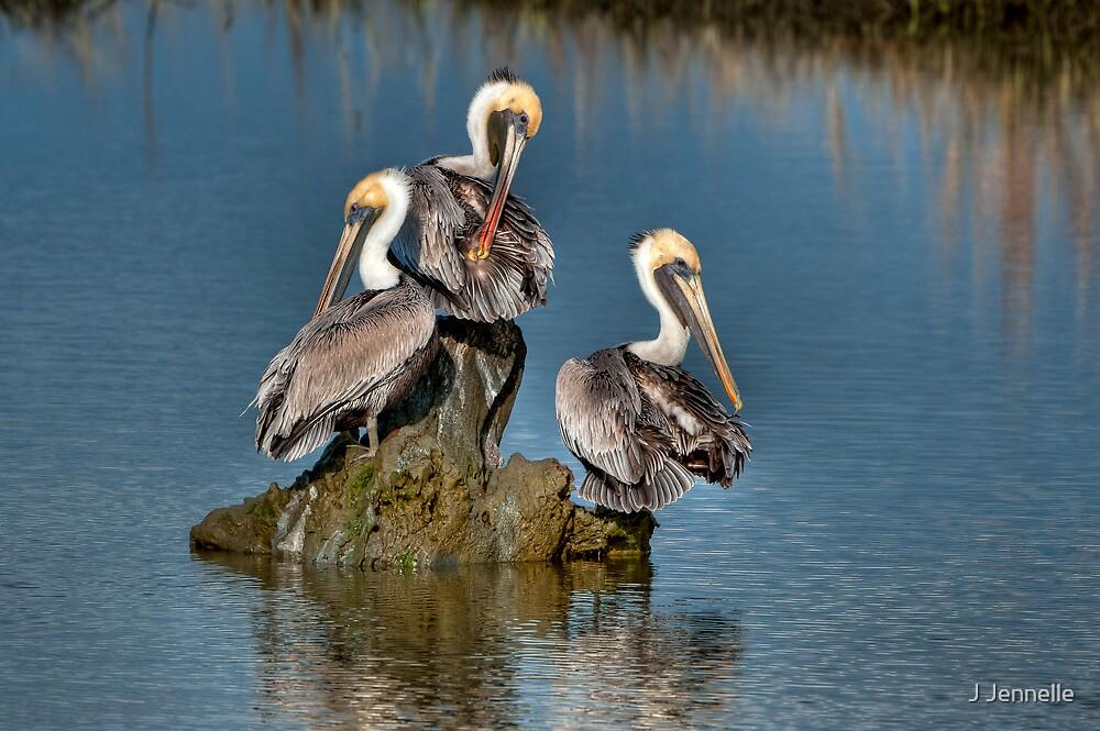 Three Pelicans Preening by Joe Jennelle