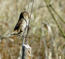 marsh wren by tego53