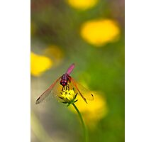 Purple dragon fly Photographic Print
